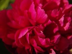 peony-blossom
