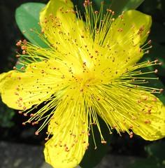 Hypericum chinense / 美容柳(びょうやなぎ) / 金糸桃