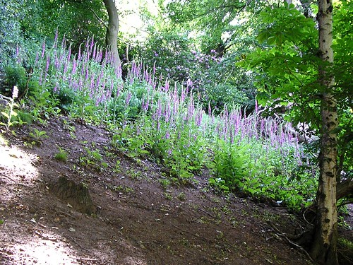 Image of foxgloves in woodland
