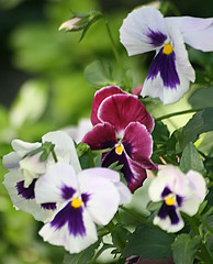 The Barbers' Garden: Pansies