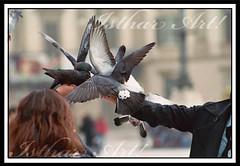 Palomas (IstharArt) Tags: animales miln