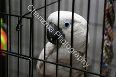 Charlie - an Umbrella Cockatoo