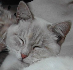 Blu (rosewood*cottage) Tags: sleeping cats closeup cat blu gatos whiskers gato catmoments catnipaddicts