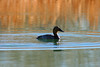 Canvasback (RayRabbit) Tags: arizona lake bird fall water duck alone north feathers cottonwood fowl waterfowl canvasback