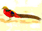 pheasant (3doel82) Tags: fish bird animals insect gambar koleksi ikan belajar burung binatang carnivora serangga mamalia amphibi