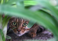 The Stalker (segamatic) Tags: pet cat canon eos grandmother stalker bushes bigmomma 40d challengeyouwinner bestofcats sigma150mmf28exdgmacro photofaceoffwinner photofaceoffplatinum pfogold pfohiddengem achallengeforyou thechallengefactory fotocompetition fotocompetitionbronze tmoacawardwinner tmoacgrandmotheraward boc0708 aug08pfobrackets