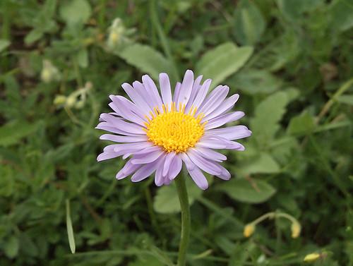 Photo: Confused Michaelmas-daisy