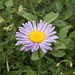 Photo: Confused Michaelmas-daisy