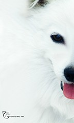Gd (Cherie) Tags: dog pet white animal hair puppy fur japanese spitz cherie guardian impressedbeauty noonah domistic cheriee
