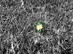 daisy (Janie's got gun) Tags: blackandwhite white black flower nature field grass natura bn erba daisy campo fiore bianco nero biancoenero margherita