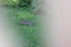 IMG_3446 (Blackavar Lion) Tags: rabbit bunny conejo coelho  lapin watershipdown kaninchen    canonrebelxti  2be2176f59cfac7c3f99b44a73b29c9b