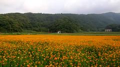 70.滿地的菊花與遠方的山景