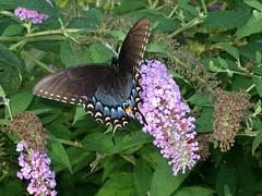 butterfly-5