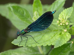 Broad-winged Damselfly (Megashorts) Tags: uk male nature bug insect wildlife olympus creepy explore crop isleofwight demoiselle winged 70300mm broad damselfly zuiko crawly e510 beautifuldemoiselle calopteryxvirgo zd calbournemill