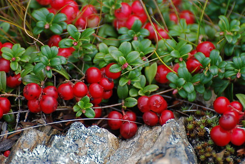 Lingonberry (aka.- Partridgeberry, Mountain Cranberry) | Flickr ...