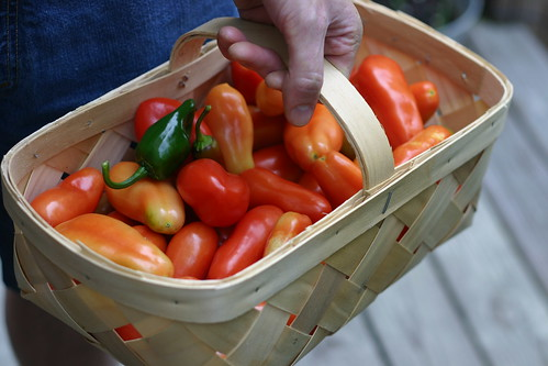 A trug full of tomatoes