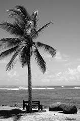 Palm Tree B&W (Claryana) Tags: ocean blue sea sky blackandwhite bw blancoynegro beach azul clouds bench mar sand rocks playa arena palmtree nubes thumbsup palma rocas oceano banqueta bigmomma challengeyouwinner photofaceoffwinner pfogold pfosilver beginnerdigitalphotographychallengewinner