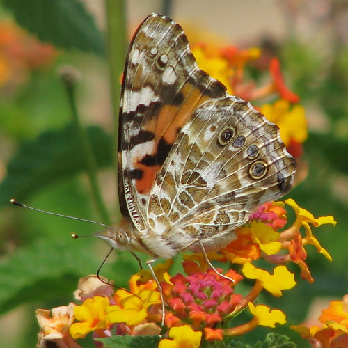 a Painted Lady was in the garden ~