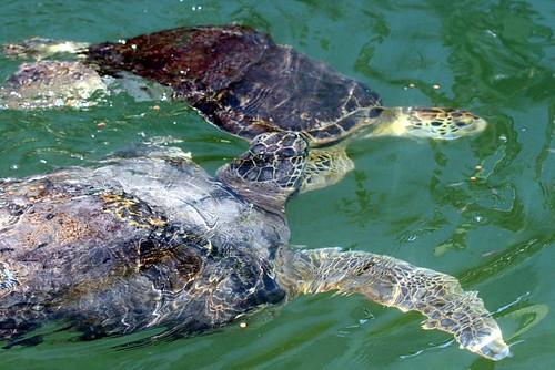 turtle 21