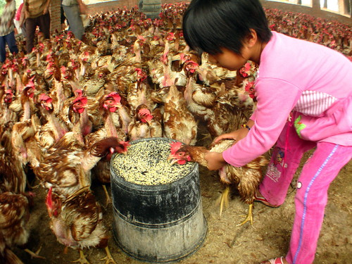 Chicken terrorist near Xixia, Henan Province, China