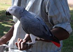 Perroquet (BAMB 974) Tags: rouge gris bec blanc oiseau plumes perroquet larunion griffes ledelarunion grisdugabon