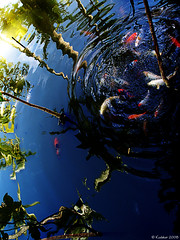 The Abstraction Of Koi (kudaker) Tags: blue orange fish abstract green nature reflections pond philippines moo eat koi aviles carp ripples pf leyte e500 albuera gettyrf