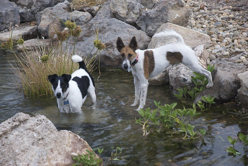 A couple of dogies at the watering hole.