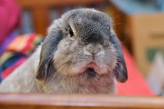 Outraged bunny (jade_c) Tags: pet rabbit bunny animal mammal singapore opal  hollandlop andora  lagomorph opalhollandlop disapprovingrabbit