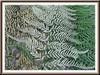 Pityrogramma calomelanos (Dixie Silverback Fern, Silver Fern)