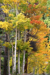 Aspen Gold (dbcnwa) Tags: usa mountain mountains landscape rockies scenery colorado rockymountains mtevans mtevansscenicbyway