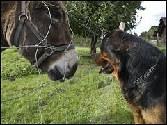 Vorstellungsgesprch (andy330) Tags: rottweiler hund esel