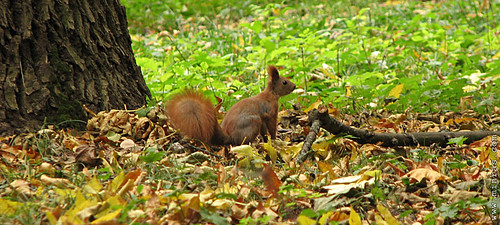 ukrainian autumn squirrel