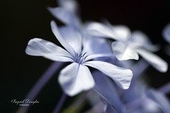 Soft delicate petals (Ingrid Douglas Images - ART in Photography) Tags: ingrid bokeh oz awesome blossoms australia images cairns douglas plumbago tropicalnorthqueensland tropicalflowers australianflora explored bokehlicious canon100mmf28lens canon40d macroflowerlovers perfectoarts ingriddouglas ingriddouglasphotography