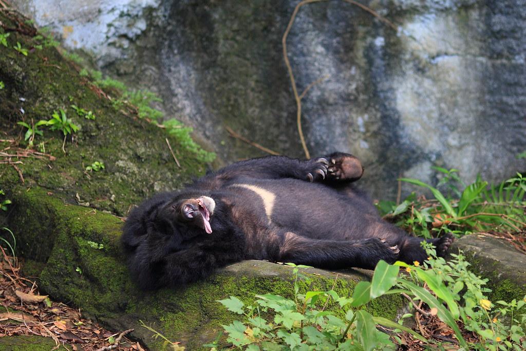睡到翻掉的台灣黑熊