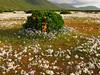 Desierto Florido (ik_kil) Tags: chile laserena desiertoflorido arrayan floweringdesert regiondecoquimbo caletaarrayan