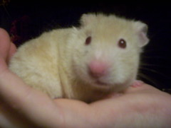 Layna, staring off into space yet again... (Jorma McCracken) Tags: pet baby cute animal hamster syrian layna
