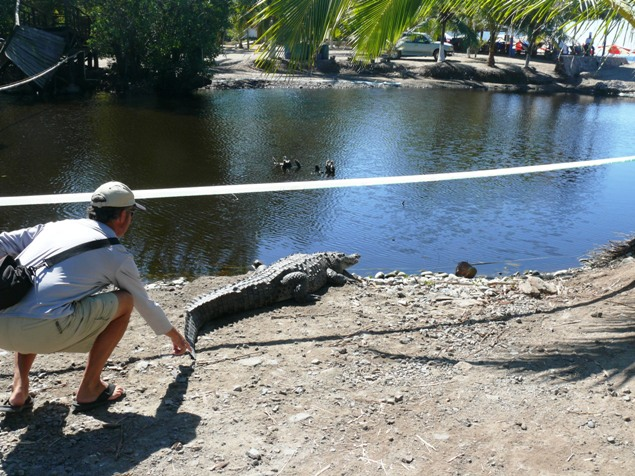 Fool pulling tail of crocodile in La Manzanilla