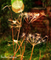 i dreamed (Flamelillyfox) Tags: autumn decay farm web ruin lincolnshire cobweb spiderswebs horbling delicaterural