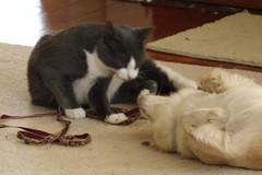 Kitten & Daisy - 04 (Andre Reno Sanborn) Tags: chihuahua kitten sweetpea daisy