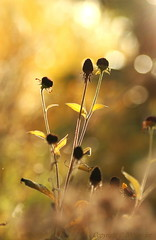 Autumn ... (_nejire_) Tags: uk autumn light plant flower macro green london fall nature yellow canon eos flora kiss chelsea bokeh britain explore tamron 90mm 1030am naturesfinest chelseaphysicgarden 30faves 50faves 10faves 40faves 35faves 25faves nejire 400d abigfave eos400d kissx fave10 45faves fave30 karmanominated goldstaraward fave50 thewanderlust vosplusbellesphotos mhashi fave35 fave25 fave40 fave45 5213245g1215am 7921355g740am6h 10227435g130pm