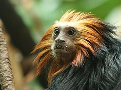 Golden-headed Lion Tamarin (NamdurApi) Tags: endangered captive endemic tamarin centralparkzoo leontopithecuschrysomelas ar1 goldenheadedliontamarin leontopithecus callitrichidae impressedbeauty