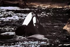 gm_10633 Vancouver Aquarium Orca 1986 (CanadaGood) Tags: white canada black color colour animal vancouver analog aquarium bc britishcolumbia slidefilm whale stanleypark orca eighties 1986 killerwhale seattlefilmworks canadagood slidecube