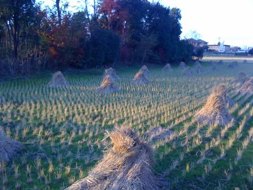 田んぼの藁