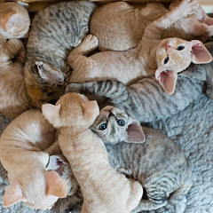 Pile of Kittens (peter_hasselbom) Tags: cats cat kitten many flash nine 9 kittens litter pile devonrex 4weeksold fourweeksold cc100 cc1000 abigfave bestofcats 9kittens cc10000 boc1208