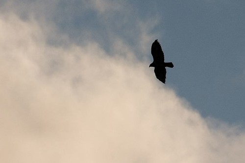 Hunting buzzard (2)