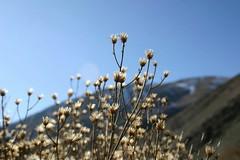 (Reza-ir) Tags: mountain flower nature iran khorasan          gholmakan
