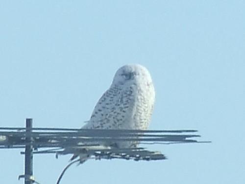 Snowy owl 017girardi