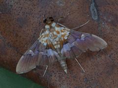 Aetholix flavibasalis (terraincognita96) Tags: lepidoptera crambidae northernqueensland spilomelinae flavibasalis aetholix