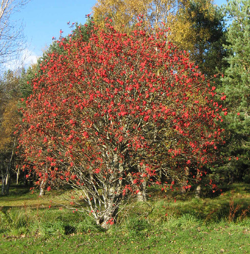 1000+ images about The Rowan Tree on Pinterest | Ash