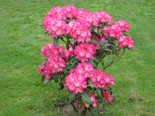 Rhododendron (Photo No. 1) / © Marco PETER